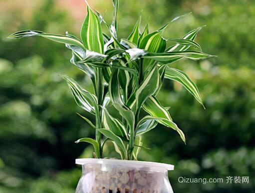 水养富贵竹效果图