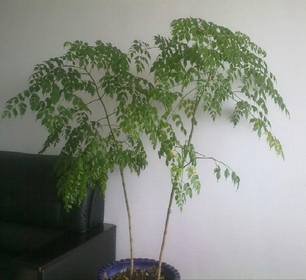 修剪注意事项:作为观赏的幸福树