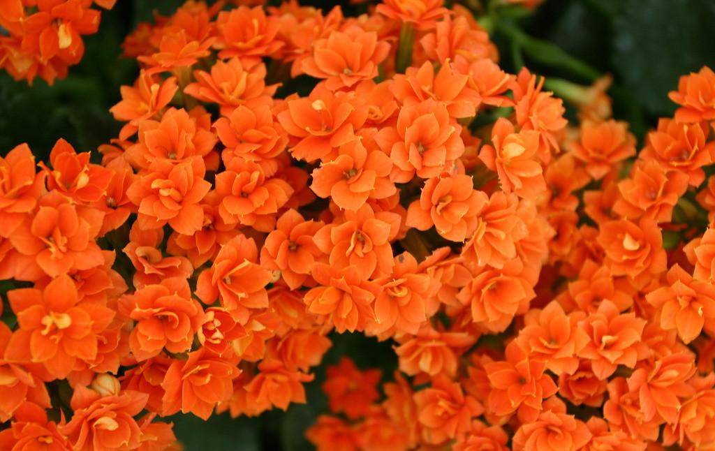 长寿花养殖需注意