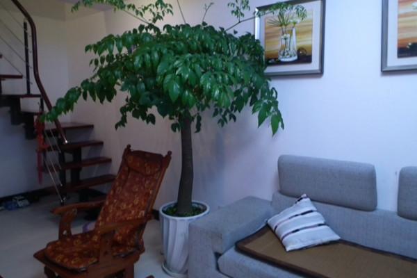 修剪方面      幸福树只需要在生长过程中适当的修剪