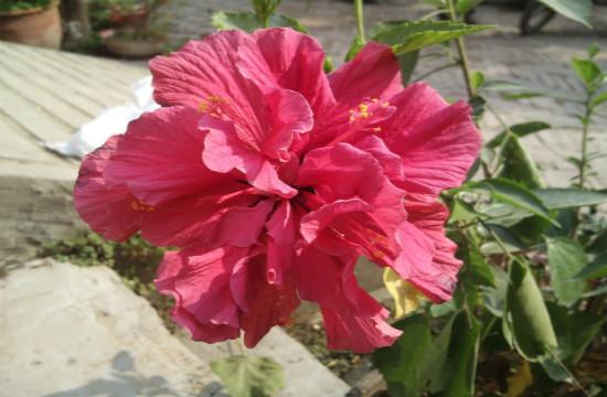 扶桑花不一样的美!
