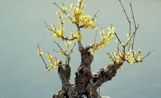 腊梅盆景应该如何养护?