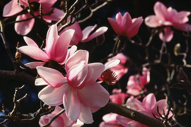 木兰花,崇高灵魂的赞美!