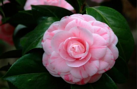 端庄高雅的山茶花,不一样的美!