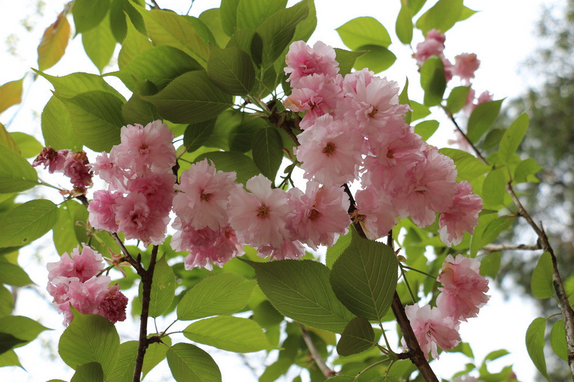 日本晚樱原来这么美,你知道吗?