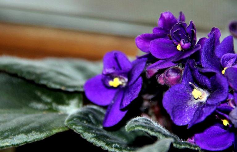 你家的非洲紫罗兰够完美吗?