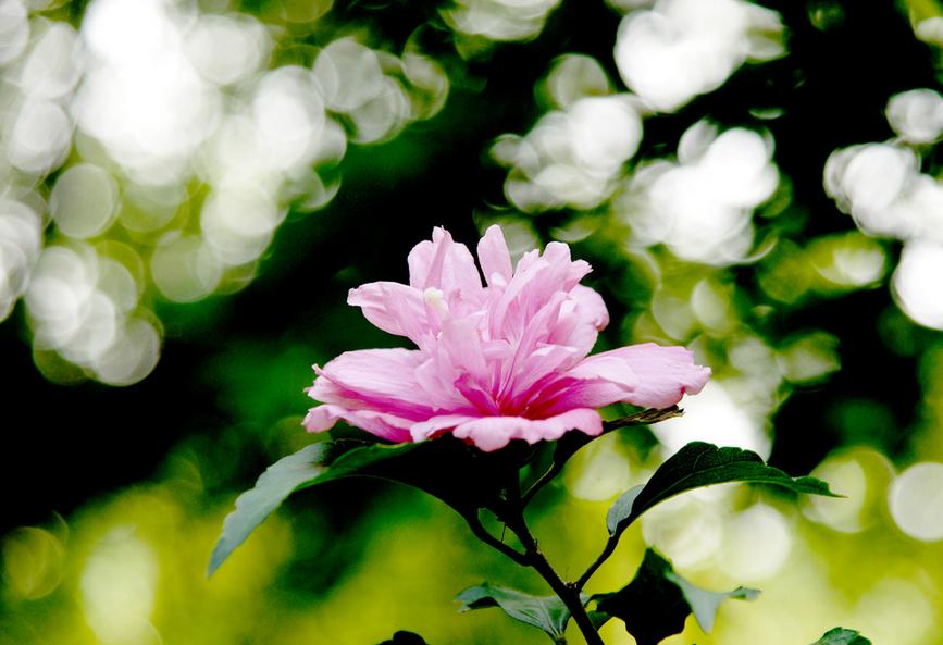 多种价值魅力后的的木槿花!