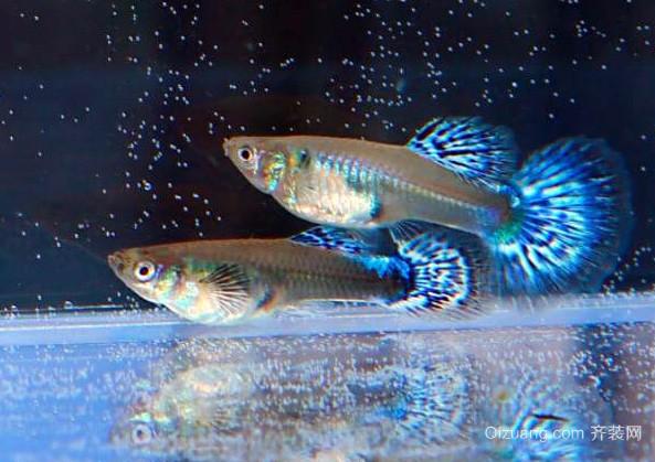 孔雀鱼品种
