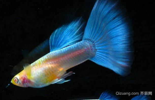 史上最为齐全的孔雀鱼品种大汇总