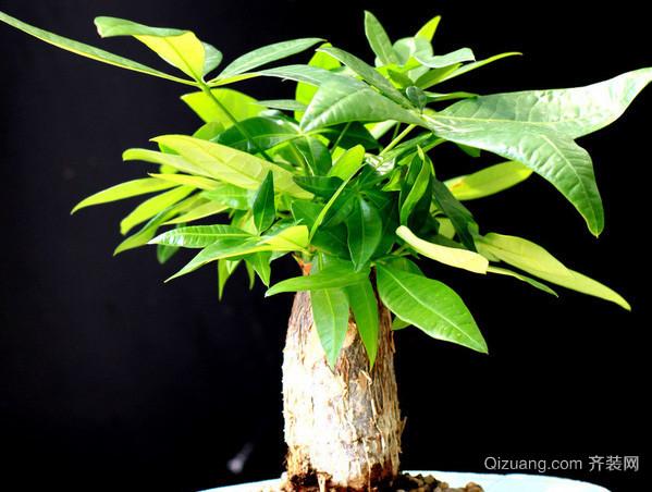 发财树叶子发黄怎么办 一副药轻松搞定