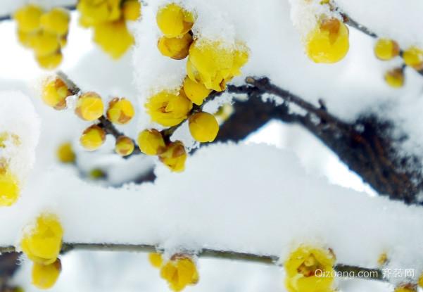 腊梅花如何种植 腊梅花的功效与作用是什么