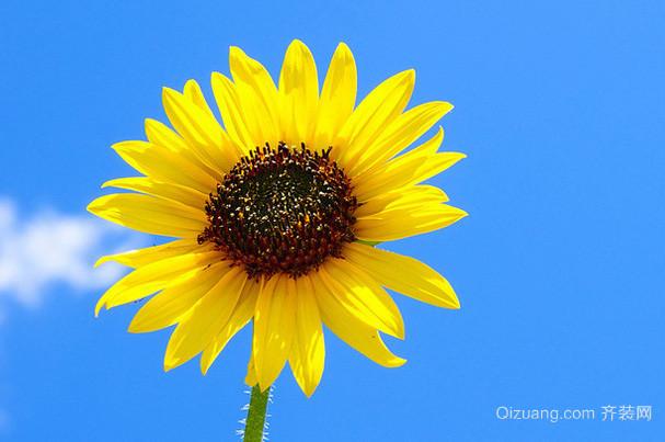 向日葵有何传说 向日葵花语是什么