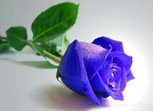 紫玫瑰代表什么