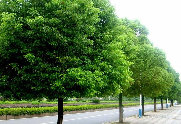 常青树有哪些