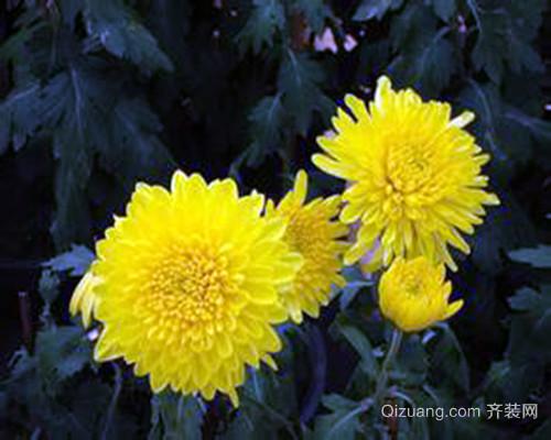 黄菊花的作用