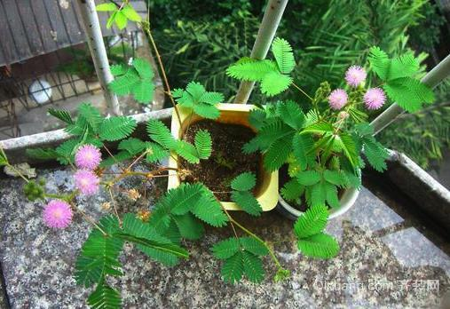含羞草怎么养 盆栽含羞草养殖方法