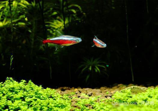 宝莲灯鱼 爱它就要懂得养护它