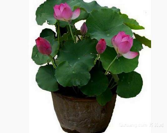 盆栽荷花停水一日荷叶便焦 养殖要注意
