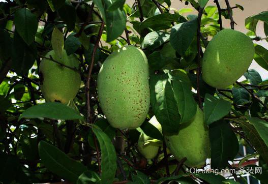 木瓜海棠:具有抗淋巴性白血病之功
