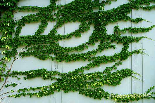 爬山虎种植方法 它的根可入药果可酿酒