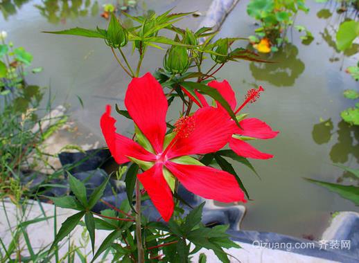 怎样挑选优质红秋葵?它的食用注意事项