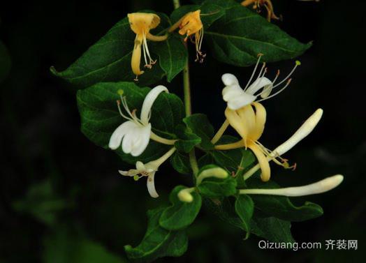 忍冬花原来就是金银花 原植物因凌冬不凋故名忍冬