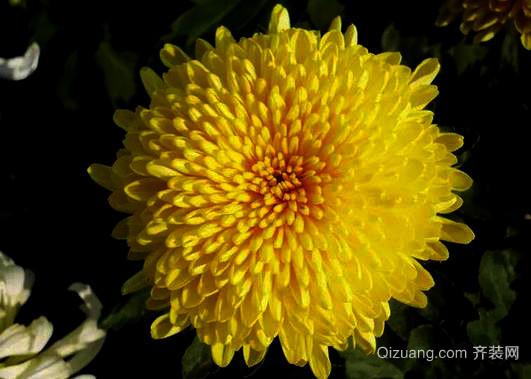 菊花品格高尚 它的象征意义有哪些
