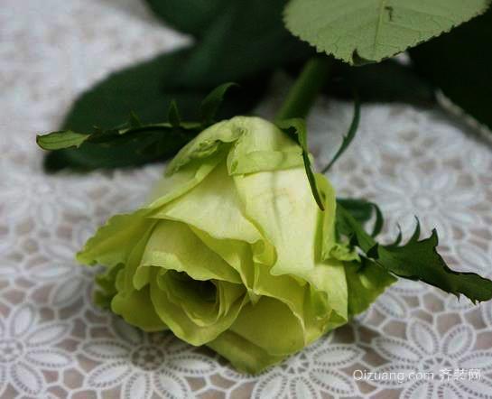 """""""绿玫瑰""""是人们一种美好的精神寄托"""