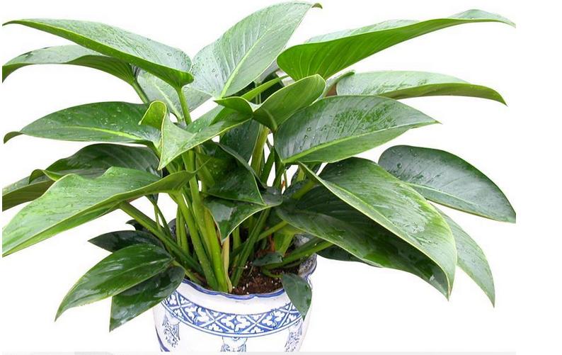 六大植物高手,跟甲醛说拜拜!