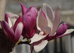 家中如何养殖紫玉兰 养殖有哪些方法