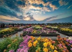 南京菊花展是什么时候 2019南京菊花展开幕时间、地点、门票价格
