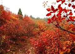 北京香山幾月份去最好 北京香山公園開啟賞紅葉之景
