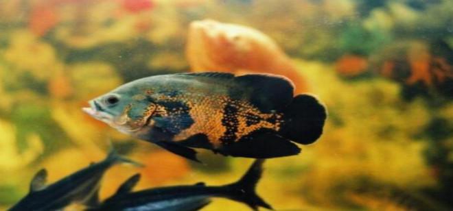 地图鱼常见病以及治疗方法