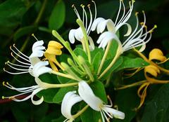 山银花与金银花的区别应该如何辨别