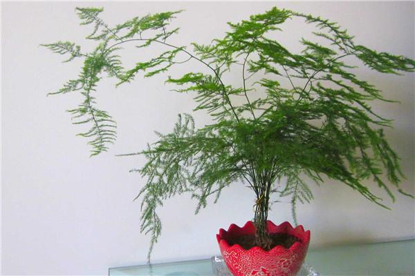为什么家里不能养文竹 文竹开花寓意什么兆头 文竹开花和风水的关系