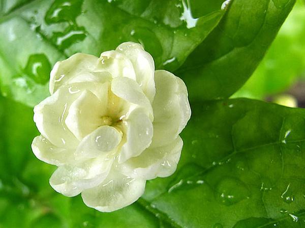 茉莉花的花语