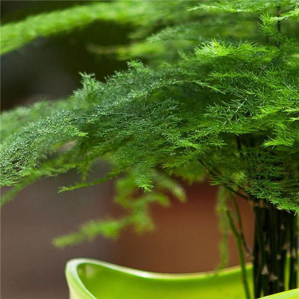 文竹开花和风水的关系