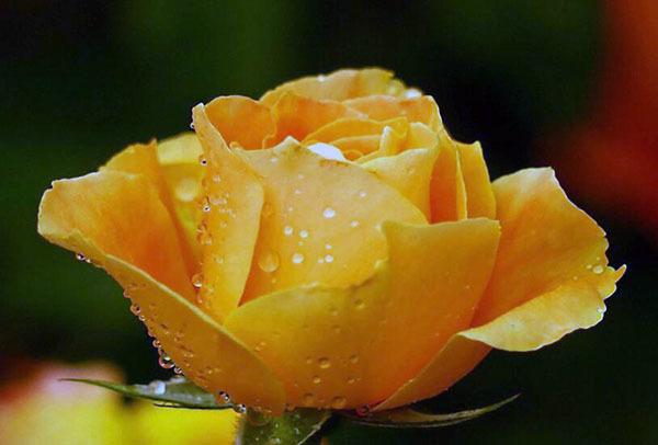 黄玫瑰代表什么意思