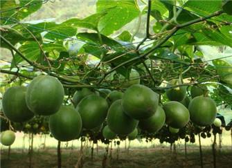  罗汉果怎么种植 常见的方法有哪些呢